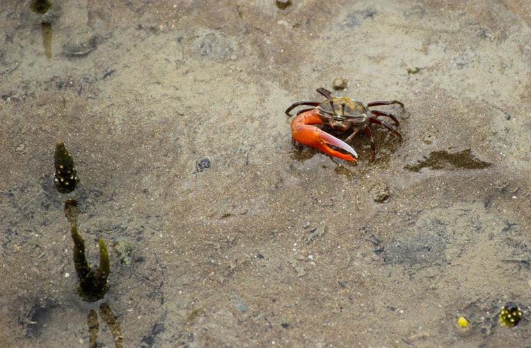 Winkekrabben im Bako Nationalpark | Foto: Carina