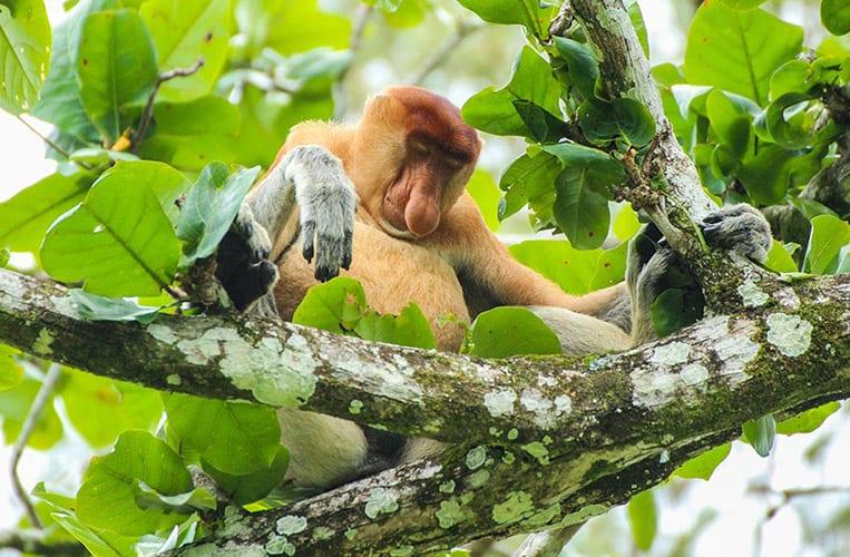 Nasenaffen im Bako Nationalpark | Foto: Carina