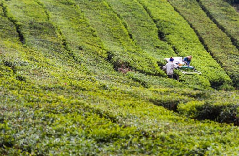 Ein Spaziergang durch die Teeplantagen |Foto: Tanja