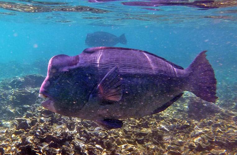 Büffelfisch | Foto: Stefan