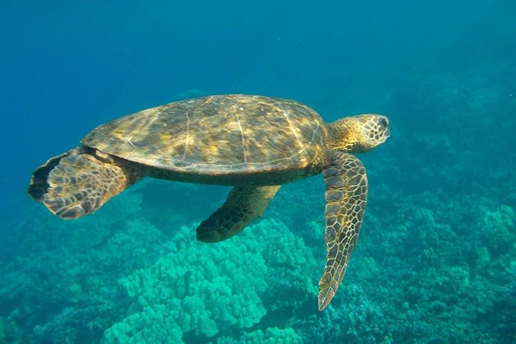 schnorcheln mit riesigen majestätischen Schildkröte