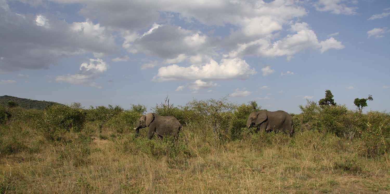 Elefanten in Kenia