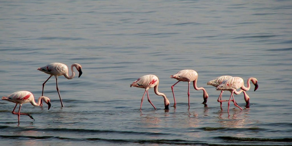 Flamingos in Bages