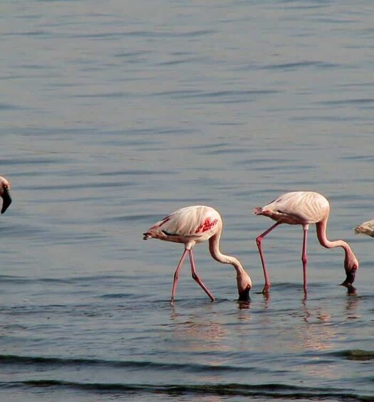 Flamingos in Bages im Languedoc-Roussillon, Frankreich