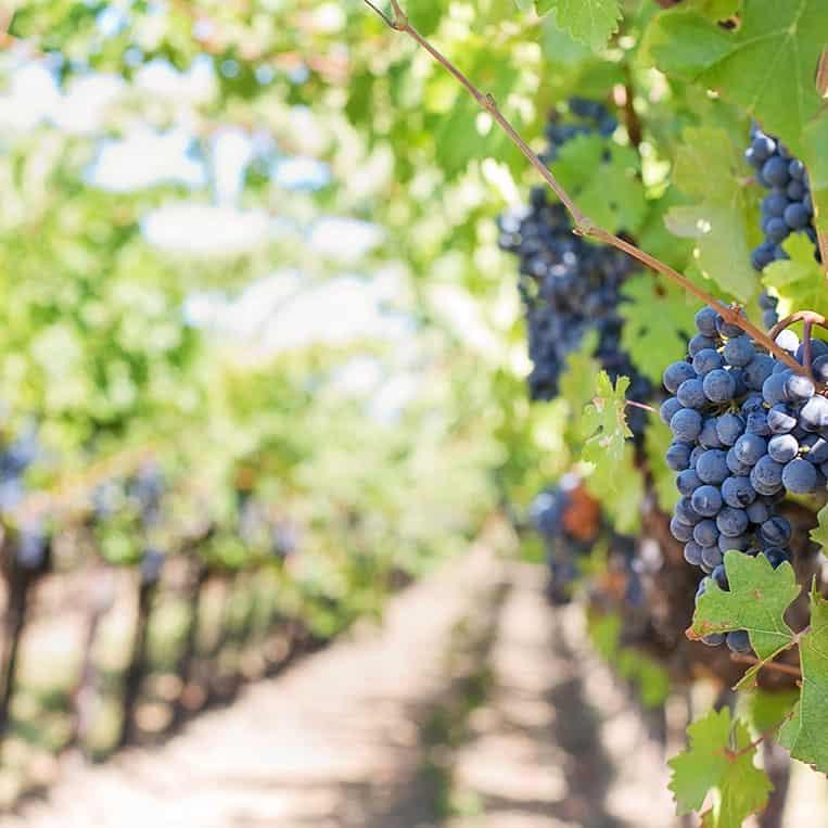 In den Weinbergen des Languedoc-Roussillon