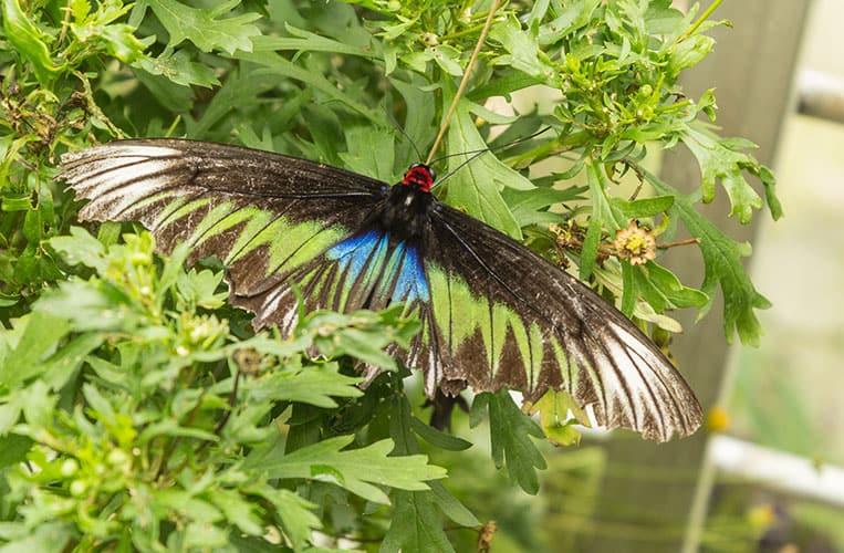 Ein riesiger Schmetterling im Butterfly Park