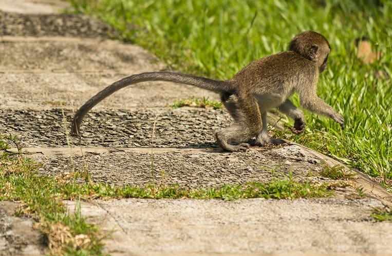 Affe im Bako Nationalpark