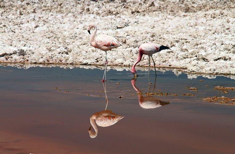 Flamingos in der Atacamawüste, Peru