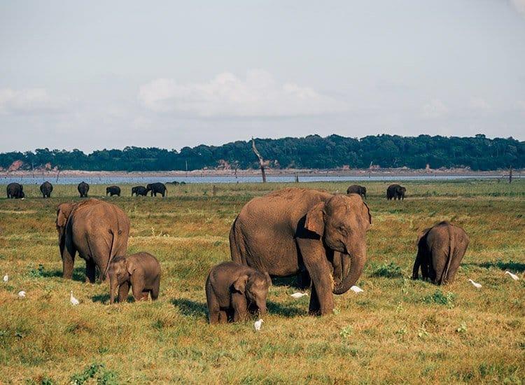 Wilde Elefanten im Kaudulla Nationalpark