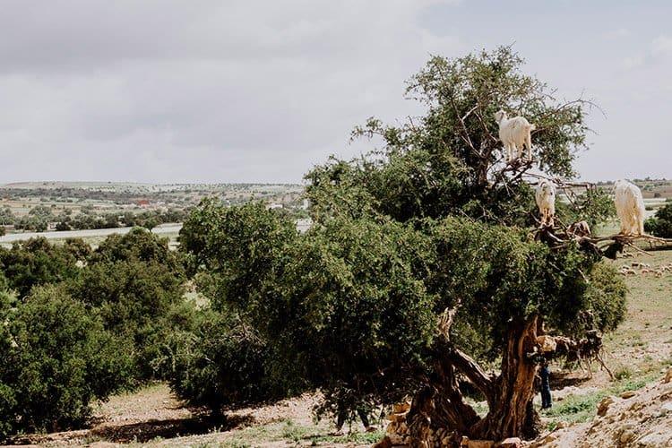 Essaouira – die berühmten Ziegen, welche in Bäumen leben