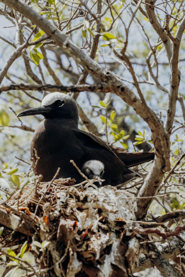Vogelinseln Moto Puarua oder Moto Oeoe - Tikehau - Französisch Polynesien
