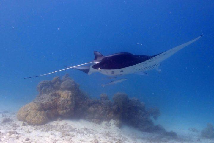 Schwimmen mit majestätischen Mantarochen auf Tikehau – Tuamotu Atoll