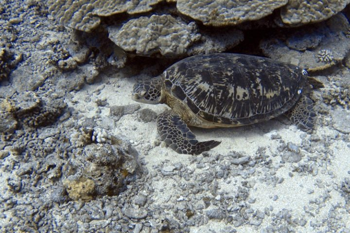 Tauchen auf Moorea Französisch Polynesien