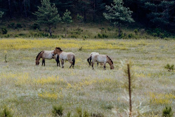Zu den Urwildpferden im Tennenloher Forst