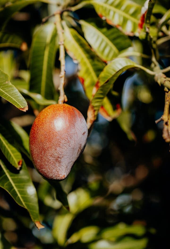 Auf Jamaika gibt es die süßesten Mangos der Welt